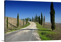 Country road with young cypress trees in a row