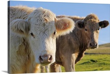 Cows, Draycott Sleights