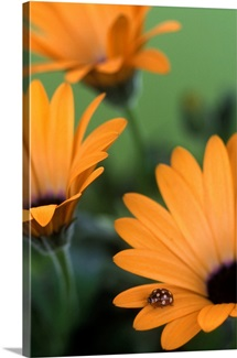 Cream-Spot Ladybird (calvia 14-guttata) on petal of Osteospermum &amp;#39;Orange Symphony&amp;#39;.