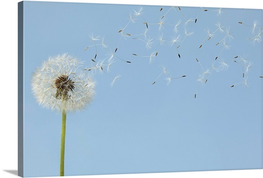 Dandelion With Seeds Flying Away Photo Canvas Print