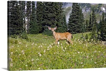 Deer in Field, Washington, united states of america