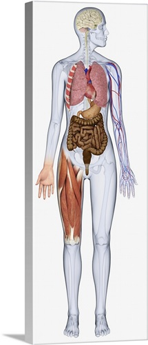 Digital illustration of human body