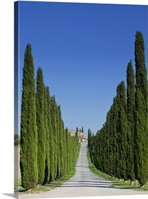 Dirt road with cypress trees in a row