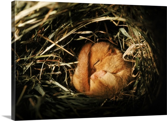 Dormouse tightly curled up, hibernating in his winter nest