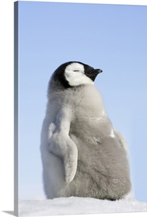Emperor Penguin