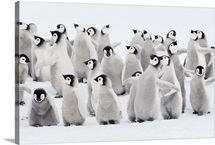 Emperor penguin chicks, ome spreading wings. Snow Hill Island, Antarctica.