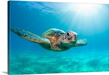 Endangered green sea turtle swimming underwater with sunburst of light in Maui, Hawaii.