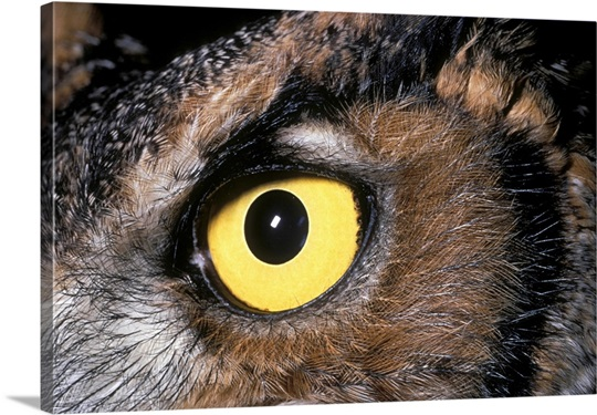 Eye of a Great Horned Owl