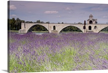 Field of lavender, St. Benezet's Bridge, Rhone River, Avignon, France