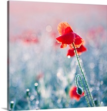 Field of red poppies in flower with early morning dew drops on them