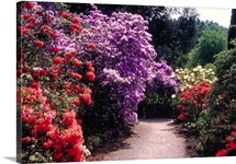 Flowering shrubs in Bodnant gardens, Bodnant, Gwynedd, Wales.