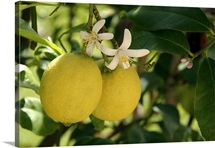 Flowers and Fruit on Lemon Tree (Citrus limon)