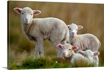Four little lambs.