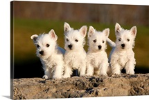 Four westies on rock