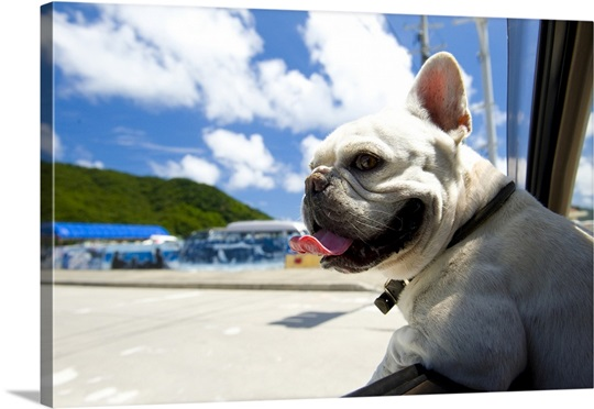 French Bulldog Sticking Head Out Of Window Of A Car Photo