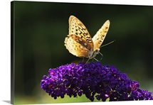 Fritillary Butterfly on Butterfly Bush, Near Madoc, Ontario, Canada