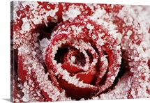 Frost covered red rose (Rosa)