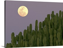 Full moon rising over cacti.