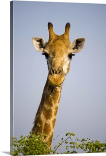 Giraff looking at camera, in Kruger National Park in South Africa.