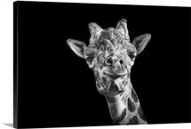 Giraffe in black and white on an all black background taken at Nashville Zoo.