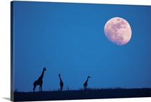 Giraffes at night with moon