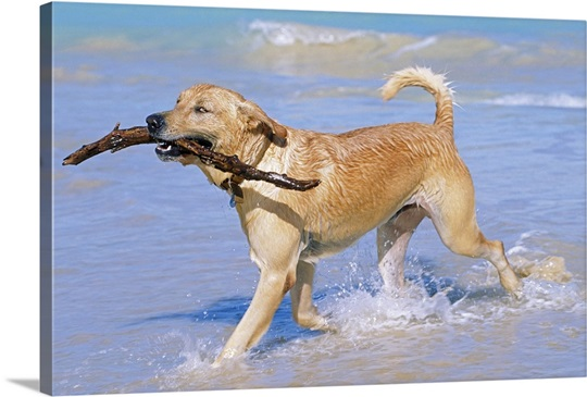 Golden Retriever on beach with stick