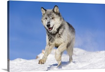 Gray or timber wolf (Canis lupus) is running on a snow covered slope