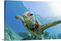 Green sea turtle swimming underwater in Hawaii.