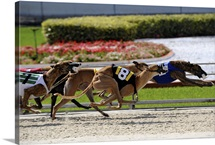 Greyhound dogs racing at Fort Myers, Florida