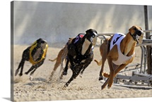 Greyhound dogs racing, Fort Myers