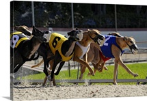 Greyhound dogs racing, Fort Myers, Florida