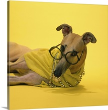 Greyhound in glasses and jewelry lying on the floor