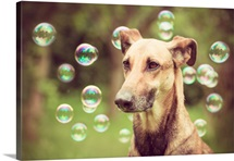 Greyhound surrounded by soap bubbles