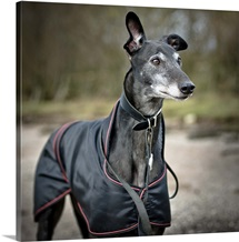 Greyhound wearing a coat on a chilly day in the UK