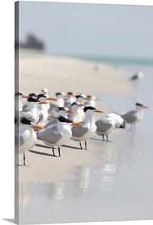 Group of terns on sandy beach in sanibel, florida.