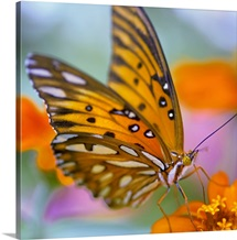 Gulf Fliterary Butterfly on orange flower.