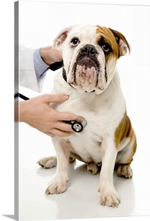 Hands with stethoscope and bulldog