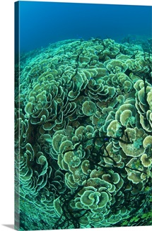 Hard coral panorama (Montipora sp.), Papua New Guinea