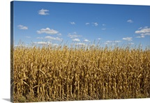 Hard corn, used for sweetener, ethanol, plastics, livestock feed, and other products.