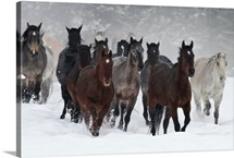 Herd of horses running in the snow, Triple D Game Farm, Whitefish, Montana
