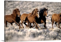 Herd of wild horses running free in desert, Nevada, USA