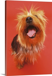 high angle view of a Yorkshire terrier sitting with its mouth open and looking up