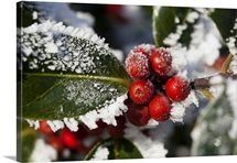 Holly (Ilex) Berries and Foliage Covered in Winter Hoar Frost