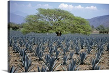 Huanacaxtle tree in a field of young blue agave plants, Tequila, Jalisco, Mexico