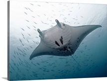 Huge graceful manta at German channel, Palau.
