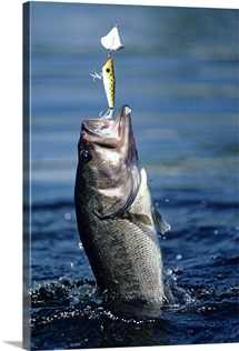 Huge largemouth bass jumping