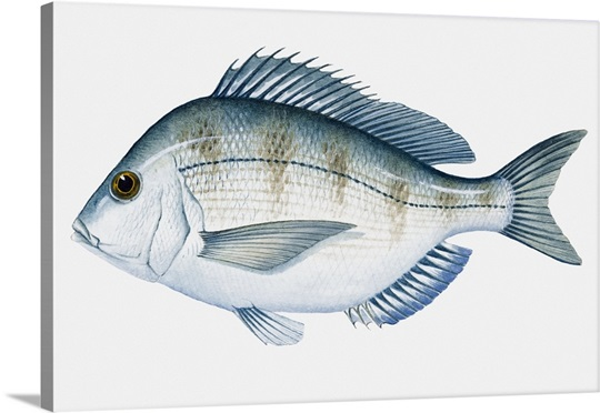 Illustration of Atlantic Scup (Stenotomus chrysops) fish