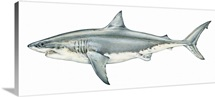 Illustration of Great white shark (Carcharodon carcharias), a type of mackerel shark