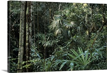 Interior of endangered tropical rainforest, Belize