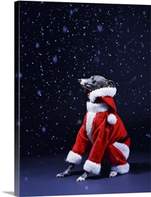 Italian greyhound wearing a Santa Claus suit